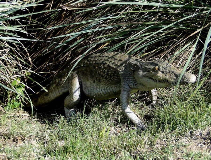 4u2032 Long Crocodile Alligator Sculpture Garden Statue Life Size